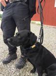 Hundkoppel KOPS smalt pistolhake mässing